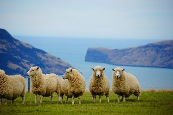 Sheep Campaign For Wool Wool Week